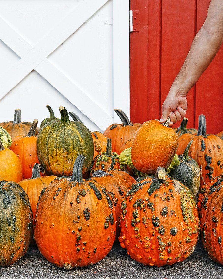 grabbing pumpkins vemront pumpkin patch