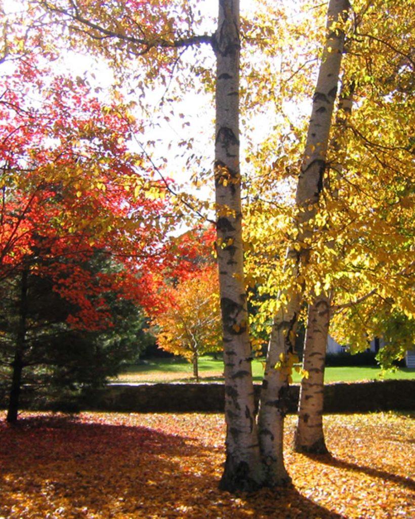 vermont fall foliage birch tree stone wall